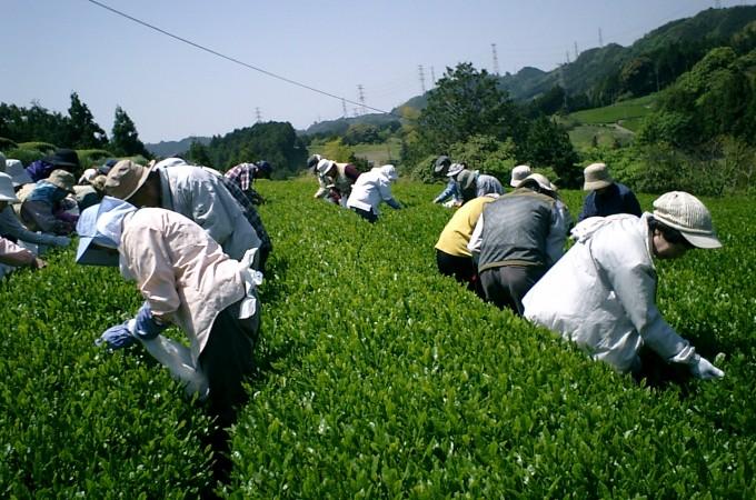 八十八夜茶摘み体験と栗ケ丘ウォーク 2011,5