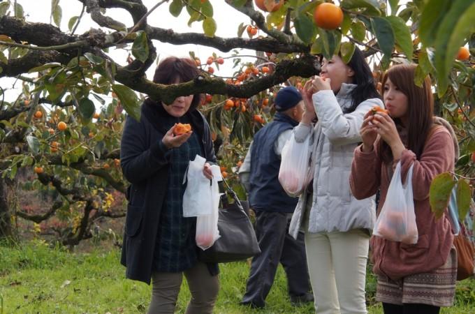 平成26年11月16日 下市町での柿狩り